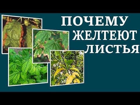 Почему желтеют листья на растениях