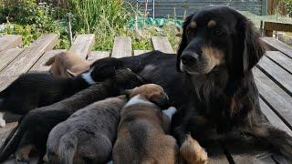 Династия спаниелей. Снова щенки. История поколения наших собак.