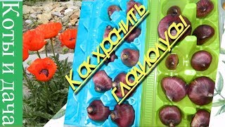 Гладиолус.Луковицы гладиолусов. Как хранить гладиолусы.
