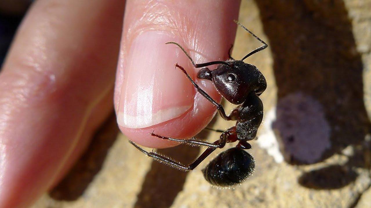do black ants bite - 900×506