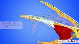 Les muscles extenseurs des doigts longs
