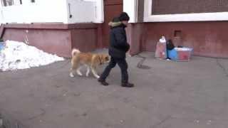 Воспитание щенка Акита-ину