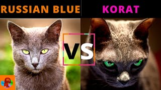 RUSSIAN BLUE CAT VS KORAT CAT (Breed Comparison) Which One Should You Choose?