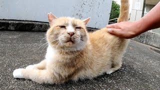 アゴがしゃくれた茶シロ猫、ゴツゴツした顔も可愛らしい