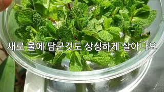 키우기 쉬운 식물 허브 애플민트 기르기 수경재배 번식