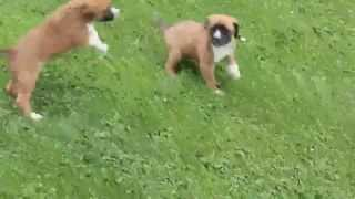 Boxer Mix Puppies For Sale