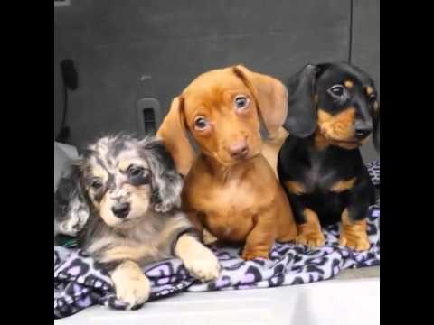 Dachshund Puppies Confused by Howling Noise