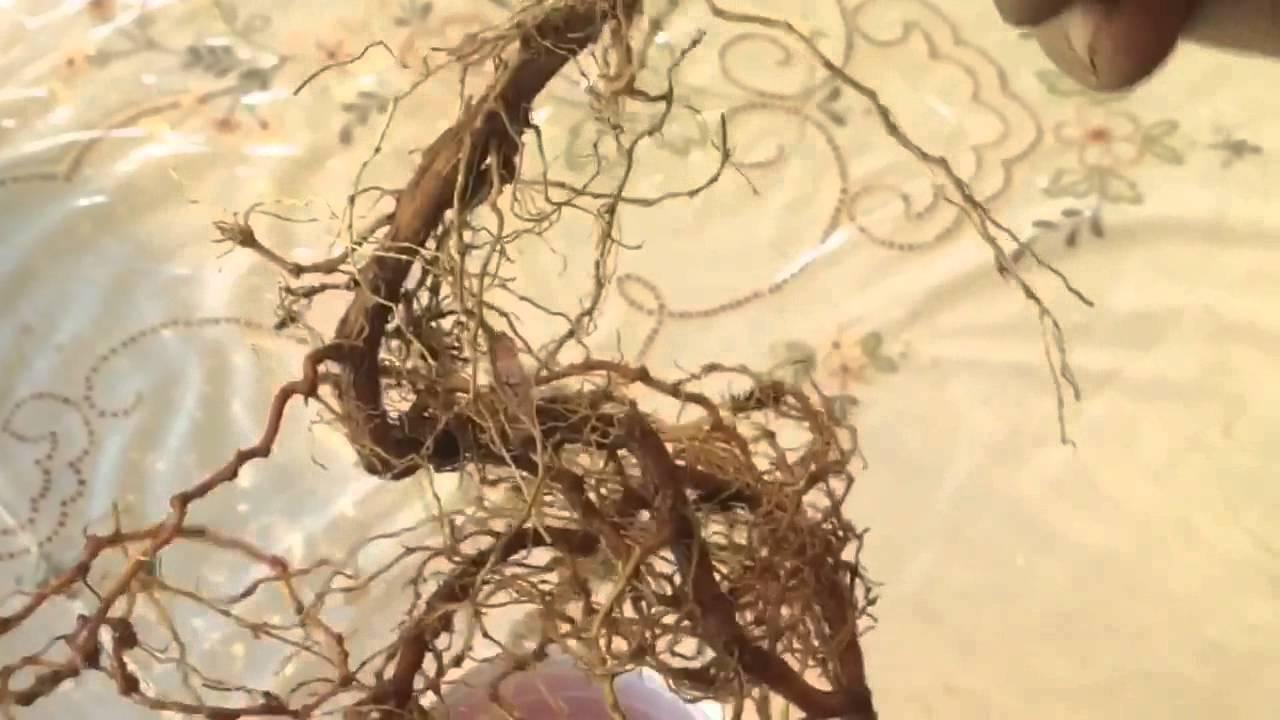 Plant Starter Plant Goji Berry Plant Bare Root Jolash Pl