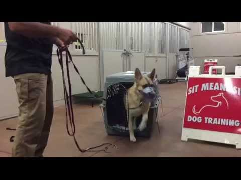 Dog and People Aggressive German Shepherd Transformation