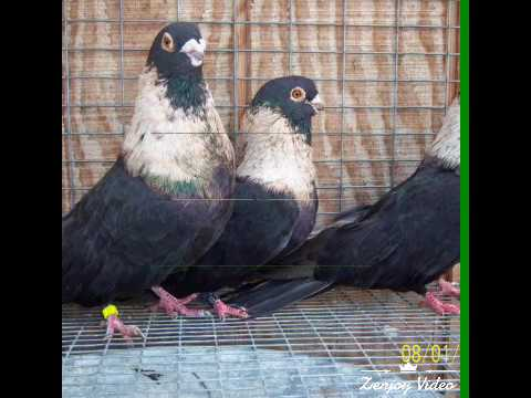 pigeons from Bangladesh !!kobutorBD!!