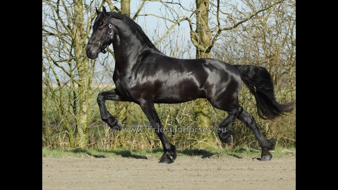 Friesian Stallion for Sale at FriesianHorses eu - Stallions