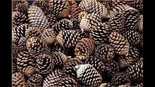 Briquettes with pine cones
