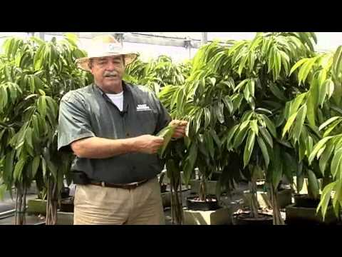 Ficus Amstel.avi