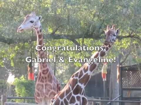 Gabriel the Giraffe Finds Love Zoo of Acadiana YouTube