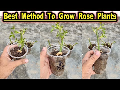 how-to-grow-rose-plants-from-cuttings-l-best-winter-season-flower-l-rose-plants