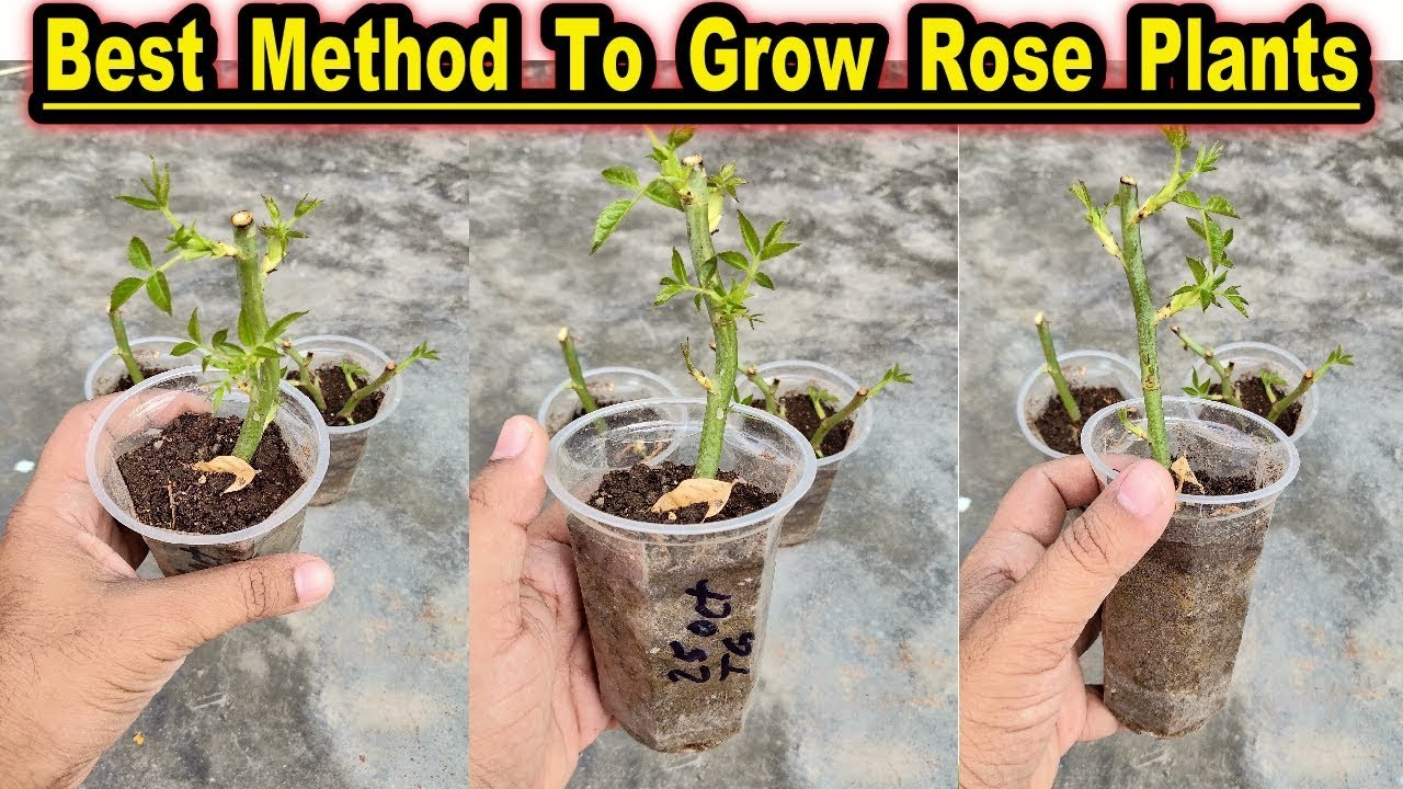 How To Grow Rose Plants From Cuttings L Best Winter Season Flower