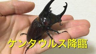 暴れん坊将軍 ケンタウルスオオカブト 【WILD】