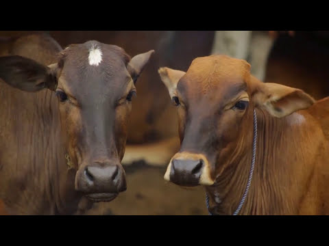 USAID-SOLID Sri Lanka Dairy Cattle Silage Production (Tamil)