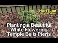 Planting a Beautiful White Flowering Temple Bells Pieris