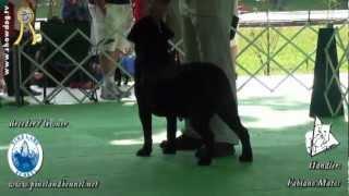 Show Dog Labrador Retriever - Black Ricco Of Pineland - Bkc - Abril 2012.mpg