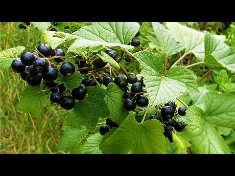 Лист и плоды смородины - польза, применение