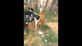 Video 3 cachorro grudado a ovmesmo tempo kkkkk download MP3, 3GP, MP4, WEBM, AVI, FLV Agustus 2018