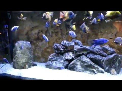 Feeding 120 All Male african cichlid NLS show tank