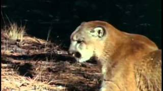 Black Bear VS Mountain Lion | Part 1 Part 2: http://www.youtube.com...