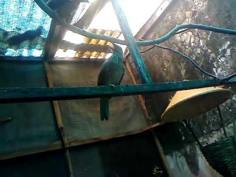 Kandang Ideal Ternak Burung Cucak Rowo Youtube