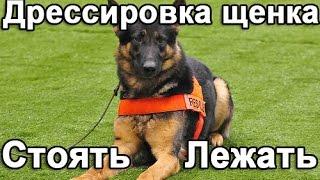 Дрессировка щенка: команда стоять и лежать