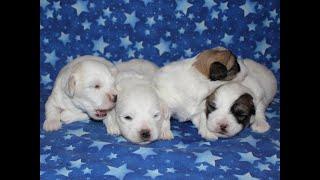 Coton de Tulear Puppies For Sale 1/28/20