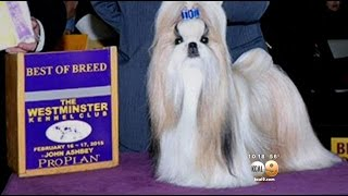 Patty Hearst's Shih Tzu Competes Fur The Win At Westminster Dog Show