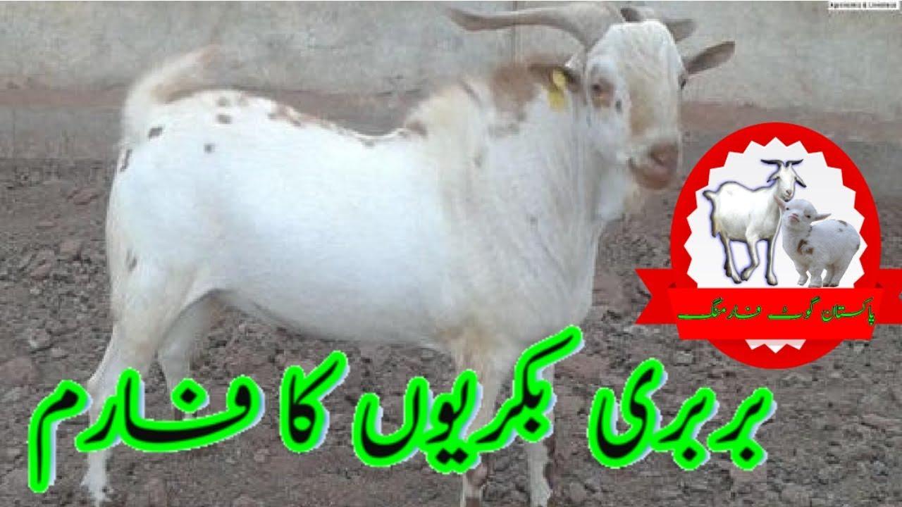 Barbari Goat farm by Pakistan Goat Farming  بربری بکریوں کا فارم