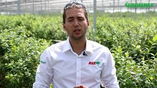 Nawadnianie plantacji borówki