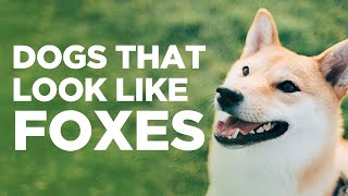 10 Dogs That Look Like Foxes
