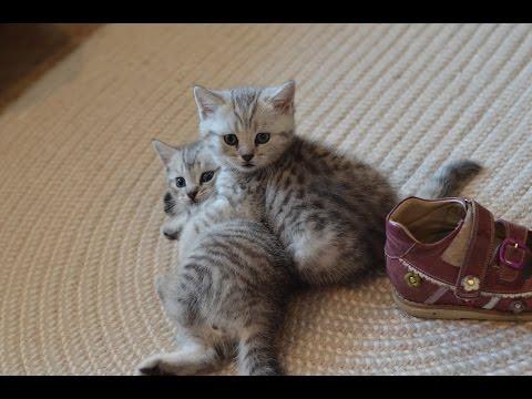 Весело Шотландские котята Scotland kitten play Funny
