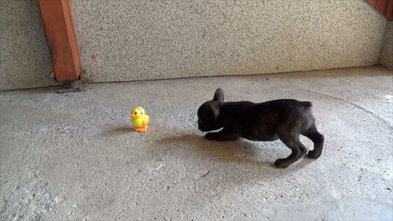 Blue french bulldog puppies are playing