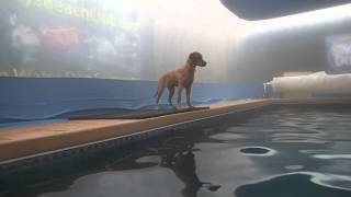 5 Month Old Golden Retriever Puppy Jumps & Swims In Swimming Pool
