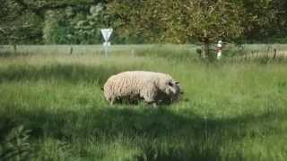 Moutons farouches