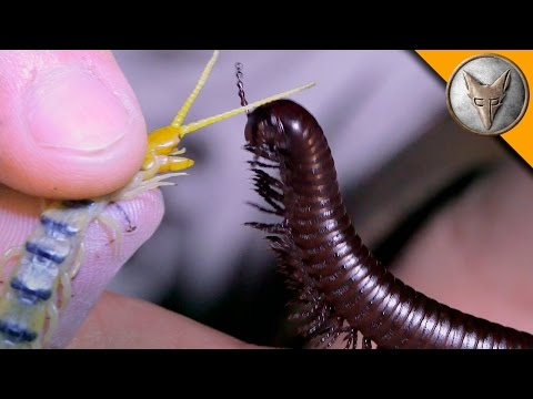 Millipede vs Centipede!