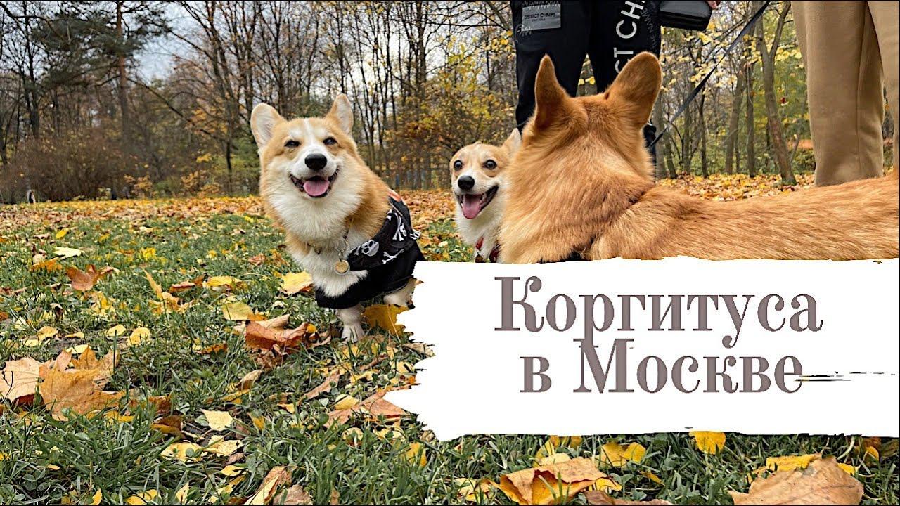 Они слишком милые! Коргитуса в Москве. Бентли бегает за девчонками.