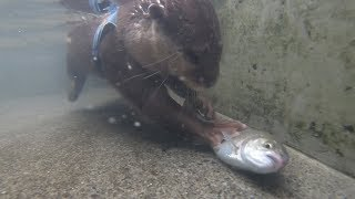 Aty tries to grab trout!? [Otter life Day 122] アティがマスのつかみ取りにチャレンジ!?