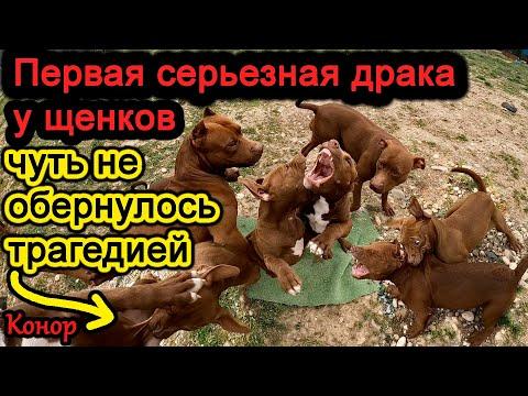 Видео: Драка щенков питбулей. Конор чуть не лишился наследства!