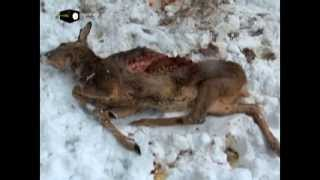 Polowanie na kłusujące psy - niebezpieczne zwierzęta