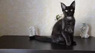"Кошка мейн кун черный солид - питомник ""Amerkun"" - Кортни"