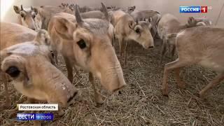 Сайгаков выращивают в Ростовской области