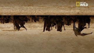 Invasion de chauves-souris