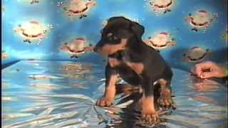 Doberman Pinscher Puppies In London , Ky  Email:  Jehenson46@yahoo.com
