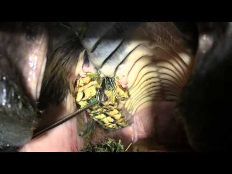 Fractured tooth in a horse -see how much food is stuck