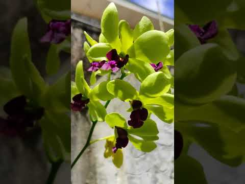 Orchid Flowers |